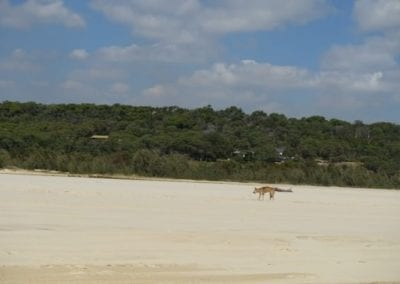 Top 9 things to do on Fraser Island with kids - Wildlife Dingo